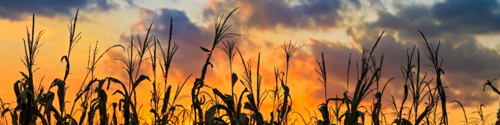 Stock Media - Sundown Cornfield