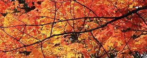 Live Events Stock Media - Stunning Autumn Maple