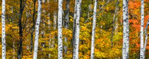 Live Events Stock Media - Autumn White Birch Wood
