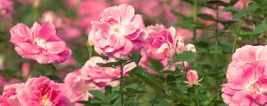 Live Events Stock Media - Pink Roses