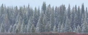 Live Events Stock Media - Snowing on Willow and Spruce Trees