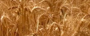 Live Events Stock Media - Wheat Field in Galilee Close