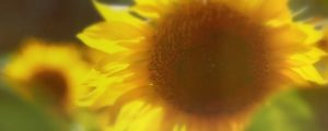 Live Events Stock Media - Muted Spring Sunflower