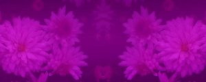 Live Events Stock Media - Purple Flowers Long Play