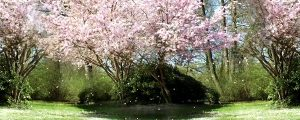 Live Events Stock Media - Flowering Cherry During Springtime 03