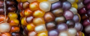 Live Events Stock Media - Variegated Calico Maize