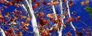 Live Events Stock Media - Fall Sycamore & Deep Blue Sky Loop