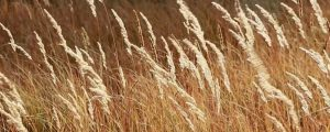 Live Events Stock Media - Golden Grass in the Sun
