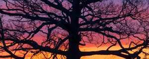 Live Events Stock Media - Big Ole Tree at Sunset