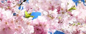 Live Events Stock Media - Flowering Cherry Blossoms