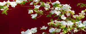Live Events Stock Media - Dogwood Blossoms