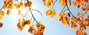Live Events Stock Media - Autumn Aspen Leaves