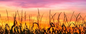 Live Events Stock Media - Cornfield Sunset Silhouette