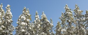 Live Events Stock Media - Snowy Trees
