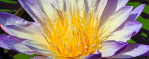 Live Events Stock Media - Beautiful Water Lily