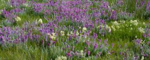 Live Events Stock Media - Prairie Wildflowers