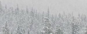 Live Events Stock Media - Heavy Snowfall in the Forest, loop