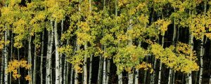 Live Events Stock Media - Autumn color on aspen trees, loop