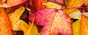 Live Events Stock Media - Fall Sweetgum Leaves