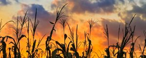 Live Events Stock Media - Sundown Cornfield