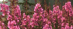 Live Events Stock Media - Fireweed and Bees