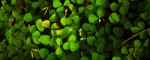 Live Events Stock Media - Vertical Pan of Green Field Clovers