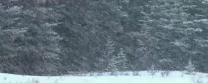 Live Events Stock Media - Snowing on spruce trees, loop
