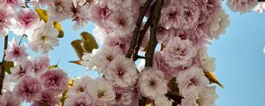Live Events Stock Media - Cherry Blossoms