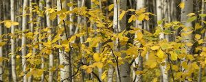 Live Events Stock Media - Autumn Aspen Trees