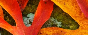 Live Events Stock Media - Sassafras Leaves on a Mossy Rock