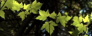 Live Events Stock Media - Maple Leaves