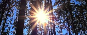 Live Events Stock Media - Sunshine in Pine Forest