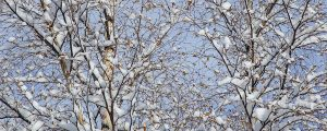 Live Events Stock Media - Snowy Birch Tree