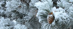 Live Events Stock Media - Fresh snow on Pine Tree