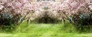 Live Events Stock Media - Flowering Cherry During Springtime 04