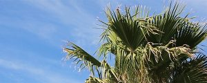 Live Events Stock Media - Palms Blow in a Cloudy Blue Sky Loop