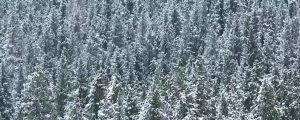 Live Events Stock Media - Gentle Snowfall in the Forest, loop