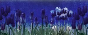 Live Events Stock Media - Mothers Day Tulips 02