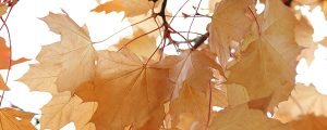 Live Events Stock Media - Autumn Leaves Light Orange-1