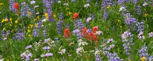 Live Events Stock Media - Alpine Wildflowers