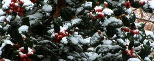 Live Events Stock Media - Holly Berries and Snow