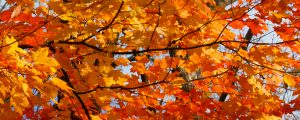 Live Events Stock Media - Colorful Autumn Maple