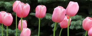Live Events Stock Media - Pink Tulips Loop