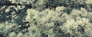Live Events Stock Media - Winter Pine