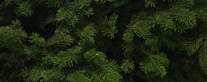 Live Events Stock Media - Balsam Spruce Tree