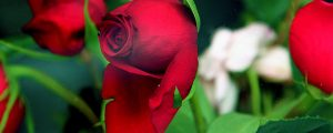 Live Events Stock Media - Red Rose