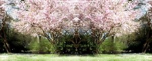 Live Events Stock Media - Flowering Cherry During Springtime 01