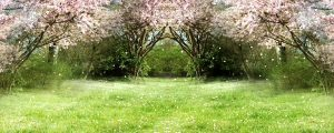 Live Events Stock Media - Flowering Cherry During Springtime 05