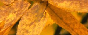 Live Events Stock Media - Yellow Hickory Leaves
